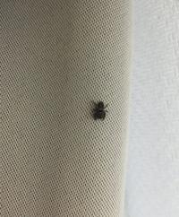 この蜘蛛はアダンソンハエトリグモでしょうか。 1cmもないくらい小さく、 白い模様もありませんでした。  画像見えづらくてすみません。