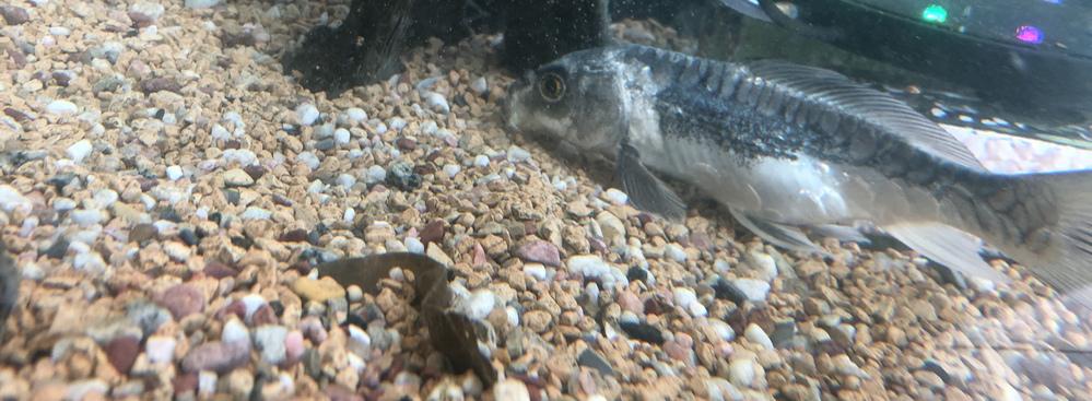 今年で6年目になる鯉がいます。昨年末1匹が死に、今日1月21日にまた1匹死んでいました。よく見たら1匹のお腹が膨れてるような気がします。 病気なんでしょうか。死んだ2匹は斑点やお腹の張りなど全く...