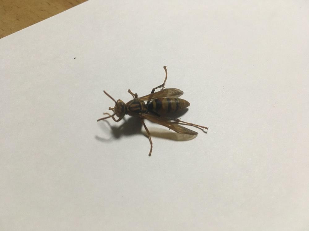 この昆虫/ハチの名前を教えて貰えませんでしょうか。 体長は2.5センチ位で、干した布団の間に挟まっていました。 よろしくお願い致します。