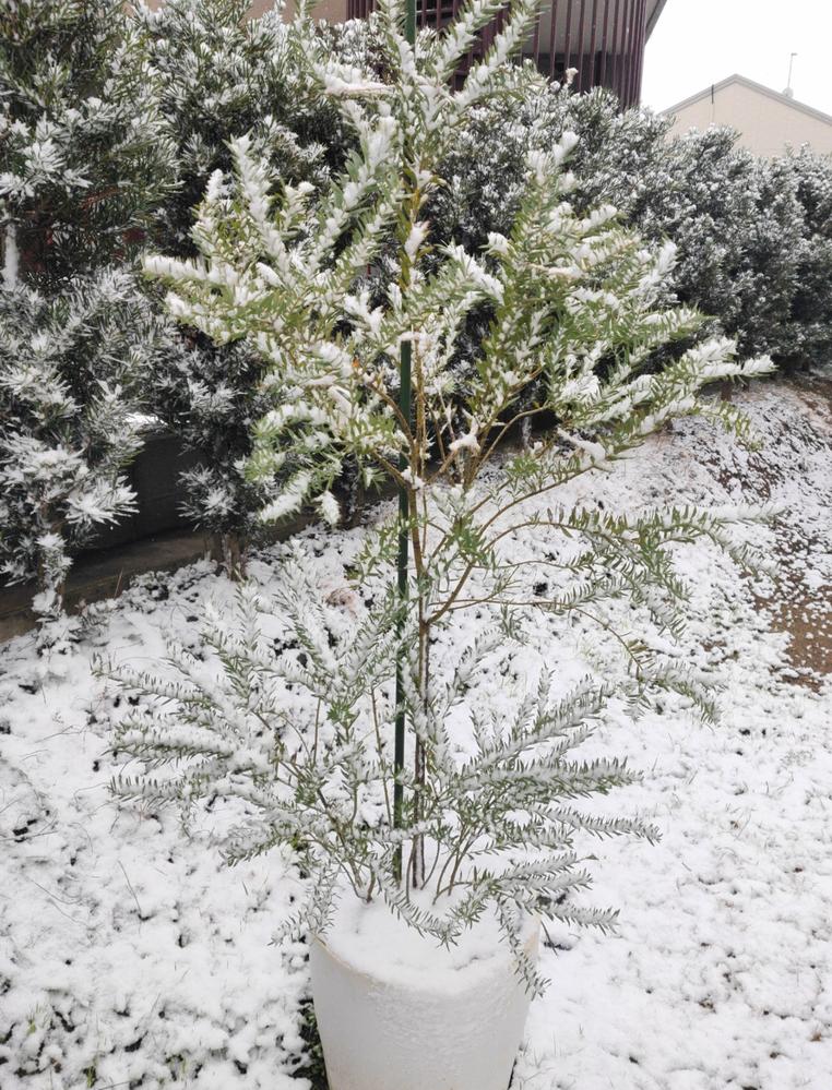 アカシアブルーブッシュ剪定のアドバイスをお願いいたします。 スタンダード仕立てのブルーブッシュが一般的だと思いますが、我が家の木はひこばえがなかなかの勢いで育っています。 ①ひこばえを切ると、主...