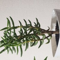 100均で買った観葉植物の①名前②育てるときの注意点を知りたいです。葉っぱはぶ厚めです。