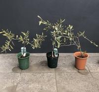 オリーブの鉢植え4号鉢大きさは50センチ弱くらいのを頂き、これを1.5メートル以上に育てたいのですがどうしたらいいですか? 鉢を大きい物に変える?何号くらいの鉢ですか? 土や肥料なども必要ですか? 年数はどれくらいかかるのでしょうか? 庭が無く鉢植えで育てたいです。 こちら東京23区です。