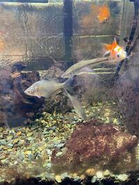 父が外から取ってきた魚を 金魚の水槽に入れたのですが この魚はなんですか? 本当は悪いのは知ってますが 採取場所に戻してこいとは言ってるのですが