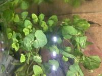 水草の種類が知りたいです。アクアリウムショップでセールになっていた水草を買ってきたのですが、名前が書かれていませんでした。 写真の水草なのですが、何という種類か分かりますか?