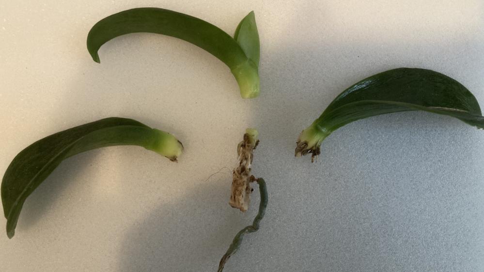 胡蝶蘭についてです。 写真の株ですが、1番上の成長点を含む葉の部分は今後成長しますでしょうか。 写真の株の状況は以下の通りです。 ・3週間前までは葉の数は元々8枚あった ・根っこは更に3本...