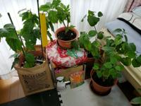 ハイビスカスをプランターで育てています。 夏だけベランダに。  寒くなってきたら窓際に置いています。 毎年室内に入れてからも花を次々に咲かせていましたが、去年はつぼみが1つも出来ませんでした。  10年ほどの物と、4~5年ほどの4つのプランターかありますが、どのハイビスカスもつきませんでした。  今年の夏は咲いてほしいです。  今からやっておくことはありませんか?