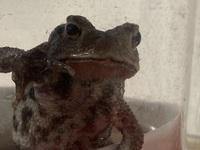 ヒキガエルについて質問です。 ヒキガエルって何年間生きてくれるのか分かりません。 今迎えて2年目なんですが あと、この蛙本当にヒキガエルなんですかね?