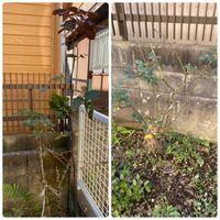 バラの冬剪定ですが、現在下記の状態です。 葉が少し残っているのですが、このまま冬剪定しても大丈夫でしょうか