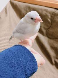 生後二ヶ月半のシルバー文鳥です! オスかメス、どっちだと思いますか??