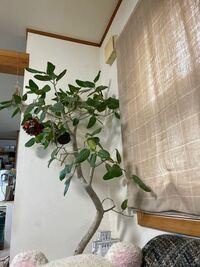ゴムの木 フィカスベンガレンシスの根詰まりで質問です これ以上鉢を大きくしたくないのですが 植え替え時に根っこを3分の1ぐらい切ってしまっても大丈夫でしょうか 宜しくお願いします