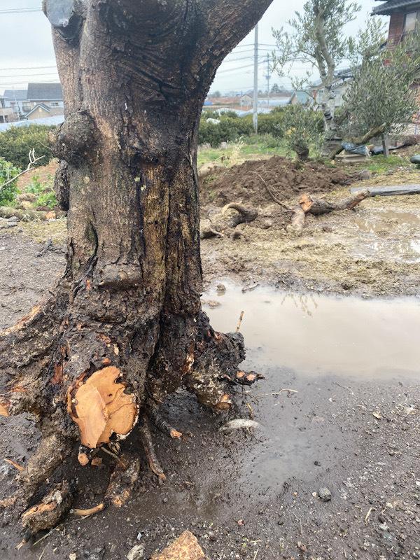 オリーブを植え替えて一年になりますが葉も出ず幹をちょっと削ってみたら茶色くなっていたのでこれはだめかなと思いダメ元で枝やらやんやら切 り詰めてコンパクトにして鉢植えで復活できるかなとわずかな望みにすがろうと思いますがみなさんこの株はもうダメですか❓