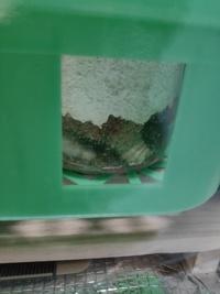 オオクワガタの幼虫です。 これは蛹室でしょうか? 初心者なので蛹室かどうかわからず、そろそろビンを交換しようと思っています。 9月に割り出しを行った幼虫でパネルヒーターを入れて管理していました。  画像は2.3日前のものです。 そこからゴソゴソしており、今は瓶の下側や側面にすこしクズがついており見えにくくなっています。 ただ、同じ場所にいます。