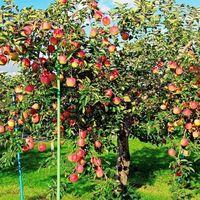 りんごにお詳しい方へお伺いをいたします。 ・ りんごはどうして気温が低いところでないと生育しないのでしょうか。