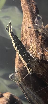 【新種のエビ!?】  こんにちは。はじめまして。 生き物が好きな夫婦です。 アクアリウムをやっており清掃係としてヤマトヌマエビを購入しました。  そしてガサガサで近所の用水路で捕まえたエビも入れました...
