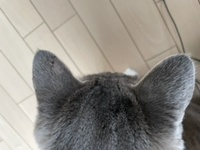 猫カビについて質問です。  写真の症状は猫カビでしょうか? その場合、すぐに病院へ行った方がいいんでしょうか?それとも様子見でも大丈夫でしょうか?  また、家でできる応急処置などありましたら教えてい...
