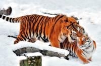 ライオンとトラを超え得る自然界の頂点捕食者はヒグマですかね?
