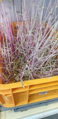 ジャガイモの種芋ですが、保管中にこんなことになりました。 この芋を植えて、普通に生育するでしょうか?ダメだとすると、どのようにすればよいでしょうか。