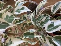 ホームセンターで購入したこの観葉植物の名前がわかりません。 わかる方がいましたらお教えください!
