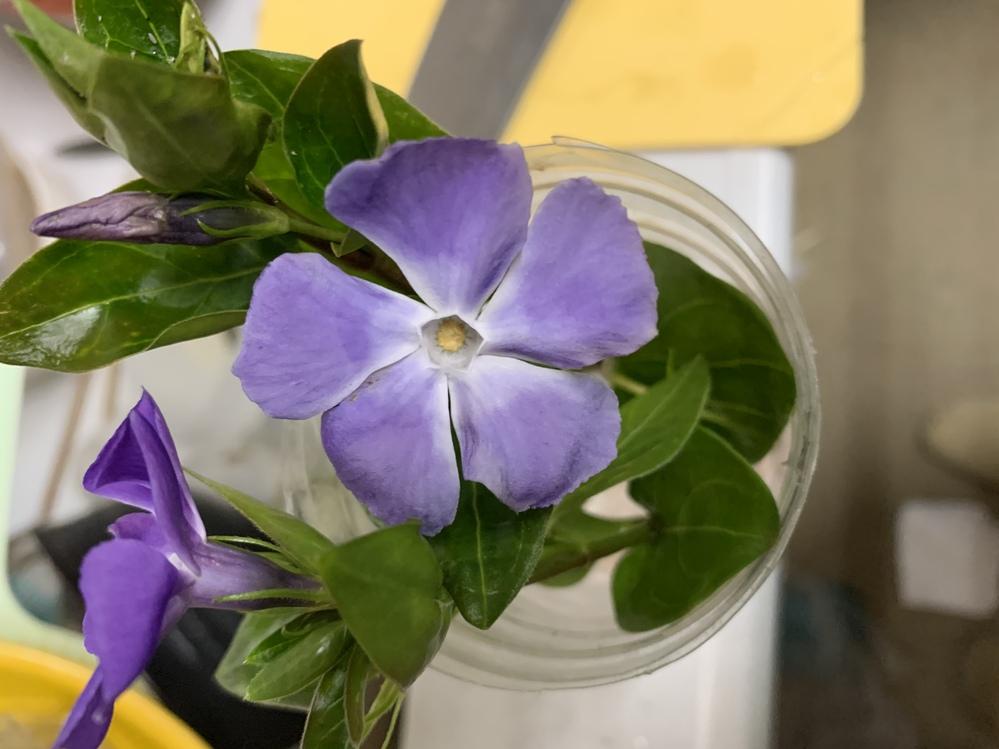 隣のお宅から、侵入してくる花 なんと言う花でしょうか? ️ 去年は、可愛い!と思って眺めてましたが フェンスから、どんどん伸びてきて うんざりです。 ほどほどがちょうど良いですよね、、、