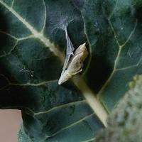 ブロッコリーの葉っぱにサナギがついてました 知らずに1日ほど野菜いれにいれてしまったのですが死んでますか? 後でてくるとしたら何になりますか?