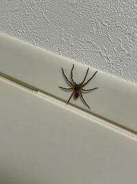 この蜘蛛なんという名前ですか? めちゃ可愛いのでペットにしたいです。
