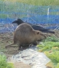 写真の動物わかる方いますか?近くの畑を荒らしにくる動物なんですが調べてもわかりません。