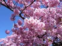 今年桜をみかけましたか? 静岡は河津桜がぽつぽつ咲き始めていますよ~。