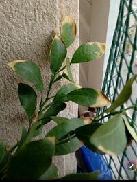 鉢植えの柚の葉が、先の方だけ黄変して枯れてます。 樹勢は元気で新芽もでてます。これは何かの病気でしょうか?知識がある方教えてください。自分なりに色々調べましたが、葉先だけって言うのが見つかりません。風通しもよく日当たりも良いベランダに置いてます。液肥も時々あげています。水はけも大丈夫だと思います。同じ鉢が3つありますが、この葉先だけ黄変してるのは一つの鉢だけです。お知恵をお貸しください。お願...