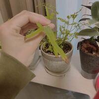 この真ん中の植物はなんでしょうか? また、長すぎる部分が不恰好なのですが切ってもあいのでしょうか? また、葉の先っぽだけが枯れている原因は何でしょうか?