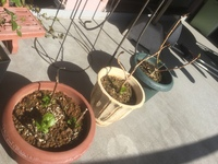 紫陽花の剪定後の経過について 初心者で分からないことばかりですが ネットで調べて紫陽花の剪定をしました。 青色と白色の植木鉢は2年目、茶色の植木鉢は 1年目です。まだ、花は咲いたことがありません。 このままで今年、花が咲くのか? まだまだ、待つのか? そもそも、咲かないのか? どなたか詳しい方、ご教授ください。 よろしくお願いします。