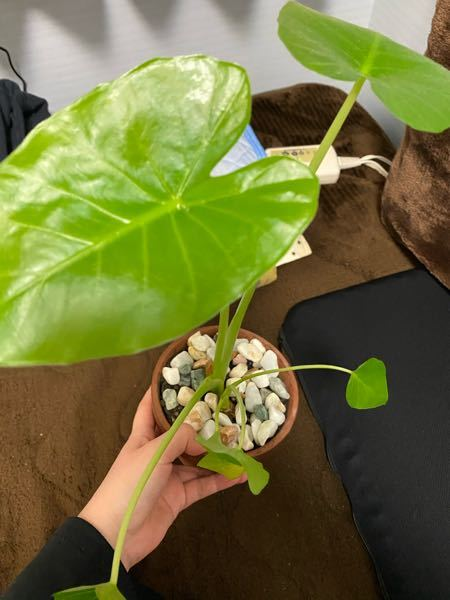 この植物の名前はなんですか?? 観葉植物だと思います どこで買ったとかも覚えてなくて名前もわかりません