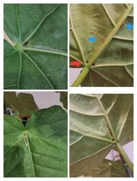 ウンベラータの葉っぱの付け根近くの太い葉脈付近が黒くなりました。近くの葉4、5枚が同じ症状です。 裏面を見ると、葉脈の脇に何か膜のようなものが張り付いているように見えたので、剥がしました写真は剥がしたあとのものです(青矢印の箇所)。剥がす前に写真を撮れば良かったのですが…ひょっとしてカイガラムシでしょうか(私は見たことがないです)。茎などには何もついていないようです。 葉の表面に白いベトベト...