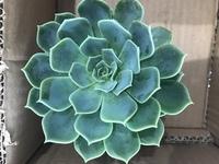 多肉植物初心者です。 園芸店で250円ほどで購入しました。 品種などわかる方いらっしゃいますか? 葉挿しでも増やせますか?