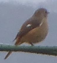 愛媛県中予に住んでいます。庭に最近添付写真の小鳥が来ます。可愛い鳴き声です。ジョウビタキだと思いますがいかがでしょう。 シロハラでしょうか。画像悪いのですが。