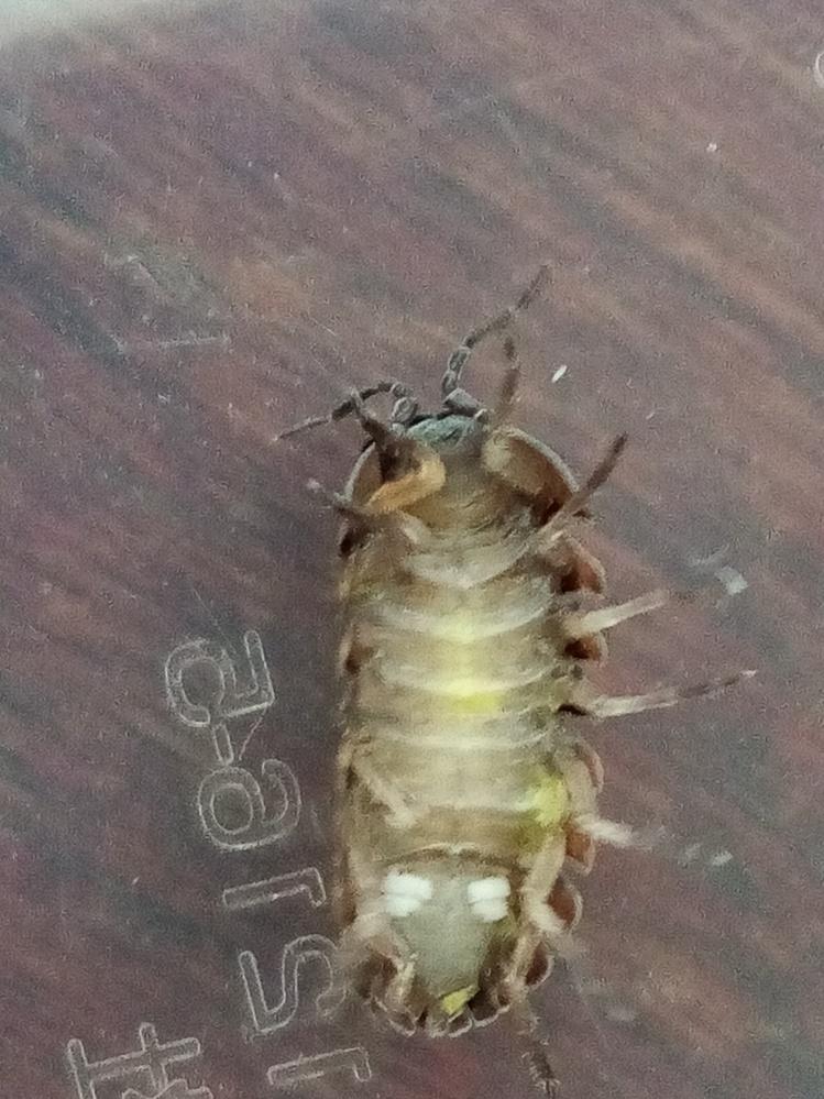 このダンゴムシって妊娠してますか?