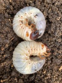 この写真の幼虫が何かわかる方いらっしゃいますか? だいたい大きさは5cmくらいです。