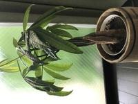 パキラ(観葉植物)の状態について質問させてください。 一ヶ月程前(1月頃)に購入したパキラの葉が下向きに垂れており元気が無いように感じます。初心者ながらネットで調べつつ、水やりは土が乾いたらあげるようにしております。鉢下から水がぽたぽた落ちる程度、水うけに水が溜まった状態にはしておりません。現状週に1回程度です。肥料はあげておりません。葉水は霧吹きで週一回程度あげております。  1、葉っ...