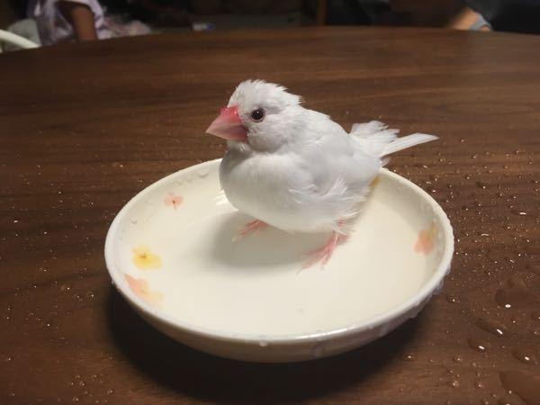 文鳥の行動について質問です。 生後10ヶ月の恐らくメスと思われる文鳥を飼っています。 手乗りなので放鳥するのですが、私の手の上に乗るとよくお尻を擦り付けてきます。鳴きながら擦り付けてくると思う...