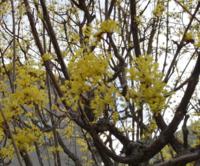 黄色い花が満開の樹を見付けました。何と言う花かご存知の方がいらっしゃいましたらお教えください。 写真が少しボケていて済みません。
