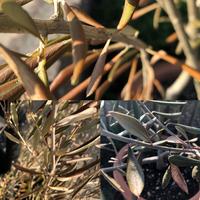 オリーブ…  鉢植えの20cm位のオリーブが2m程まではぐんぐん大きくなっていたのに… 最近になって枯れ始めました… 理由は… 寒さでしょうか? 水不足でしょうか? 鉢(40×35)が小さかったのでしょうか? 虫の穴は確認できませんでした 幹の中心の土が落ち込んでいたのでたぶん根っこが腐って土が落ちたのかなぁと思っています 再生できる物なら再生させたいのですが 確か、挿し芽...