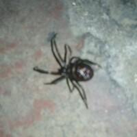 この蜘蛛は何という名前ですか?    真っ黒な体に大きな腹部・・見るからに毒がありそうです。 またこの蜘蛛の持つ、毒の有無や毒の強弱といったものを教えてもらえるとありがたいです。
