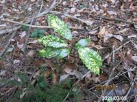 斑入りアオキは種子から発芽して斑入りの葉っぱになりますか?  岐阜県米田白山で、 撮影20210305