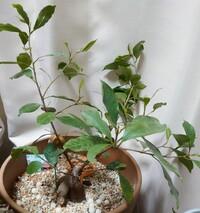ガジュマルの剪定について そろそろ暖かくなってきたので、観葉植物ガジュマルの剪定をしたいと思っています。うちのガジュマルは室内で育てていて、間延びしてしまっている気がするので、俗に言う丸坊主に興味があります。でも、せっかく伸ばした枝葉を切るなんてかわいそうで‥。 これは、丸坊主にする必要ありますか?