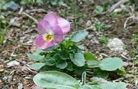 この花の名前を知ってたら教えて頂けませんか? 花の大きさは3cm程、高さおよそ6cmの花びら5枚で、庭に自生しているのを今日発見しました。 育てたいなと思いまして、どうぞ宜しくお願いいたします。