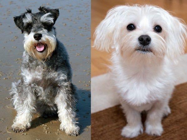シュナウザーとマルチーズのミックス犬はシュナチーズですか?マルナウザーですか?