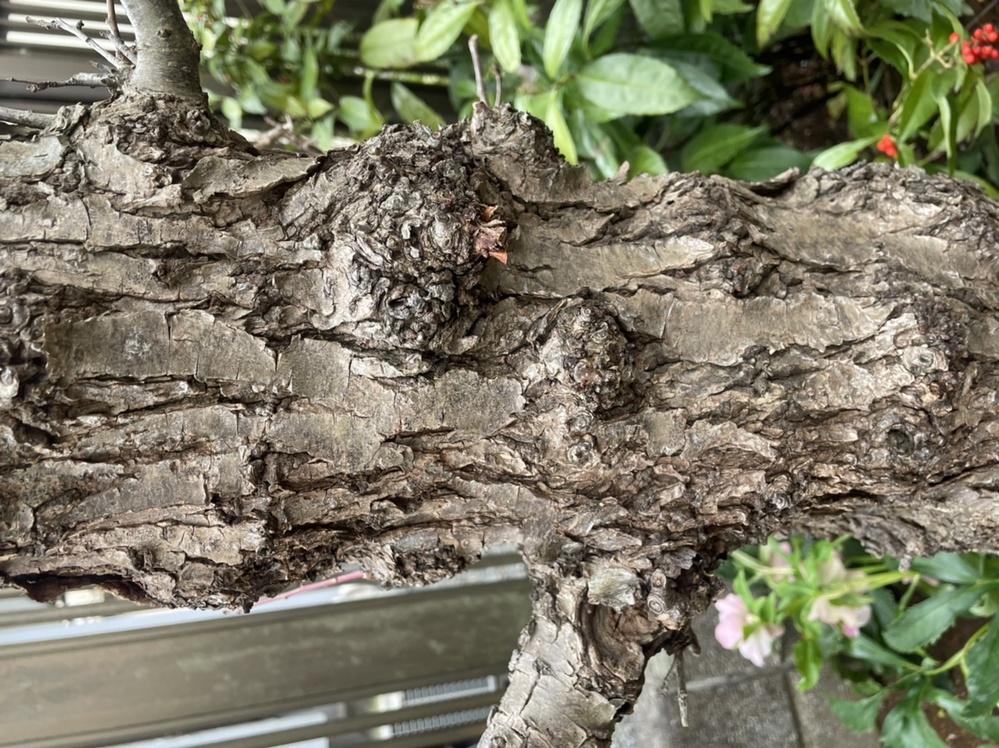 我が家の梅の木の幹が写真のような状態になってしまいました。何かの病気なのでしょうか… 44年も共に過ごした木なので、どなたか対処法をご存知の方いらしたら、教えて下さい。