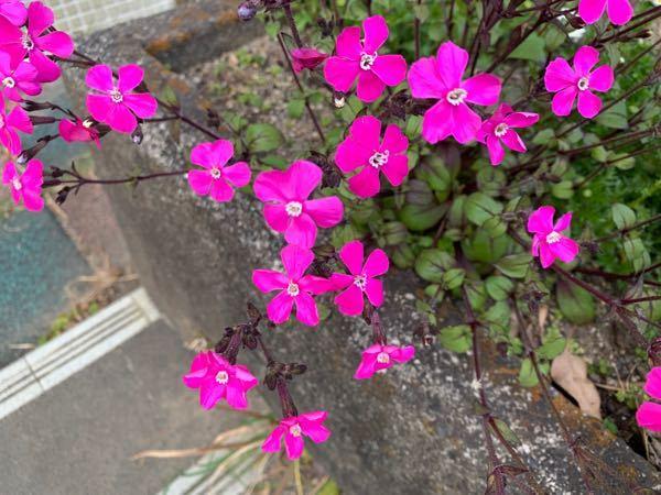 この植物はなんという名前ですか? 今まであまり見たことない気がするのですが、最近学校の花壇や民家の軒先などでよく見るようになりました。 よろしくお願いします。