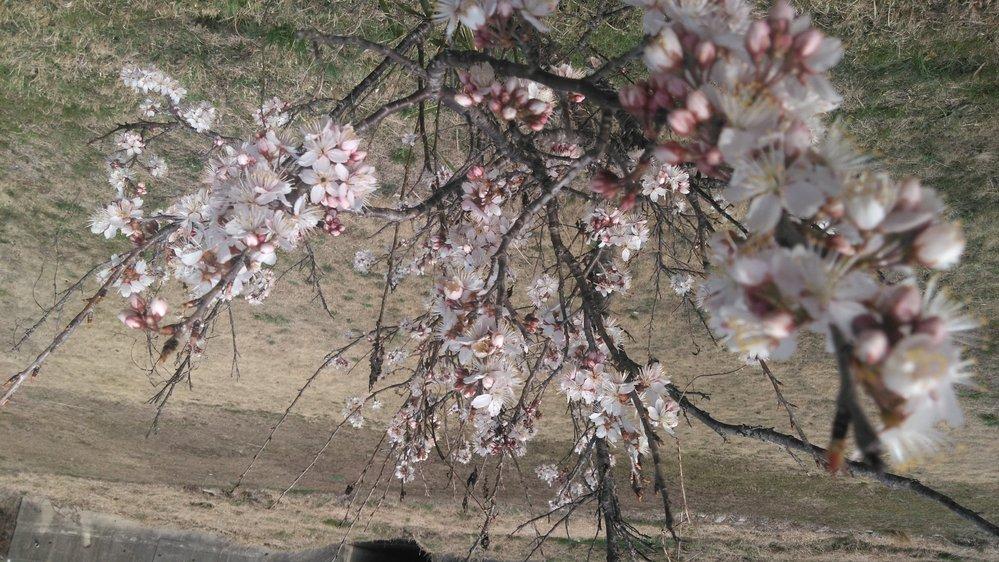 広島県尾道市で咲いている桜です 2(写真を複数載せるため) すぐ近くのソメイヨシノは咲いておらず、それらが老木になっているので次世代用に植えられたサクラたちが他にもいるのですがこの子だけ咲いてます こ