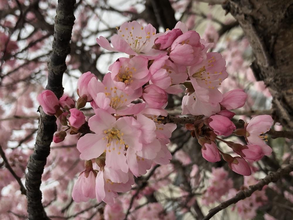 今現在の関東圏で咲いている桜の名前を教えてください。 先ほど桜の花びらの写真を撮ってきましたので載せてみます。
