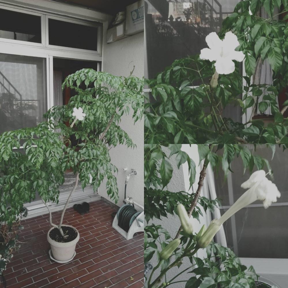 花の名前を教えて下さい。 亡くなった母が大切に育てていた植物らしいですが、去年盆に咲いて翌日散ることが2、3回ありました。少なくとも20年以上経っていますが今まで咲いている姿を見たことはありませ...